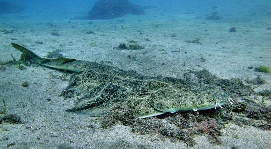Tiburón ángel - Angelote - Squatina Squatina